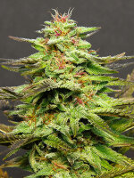 Big Head Seeds - Julies Cookies Feminised Cannabis Seeds