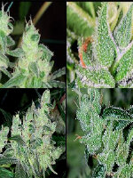 Kaliman Seeds - Cheese Quattro Regular Cannabis Seeds