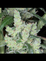 Kaliman Seeds - Bob's Cheese Feminised Cannabis Seeds