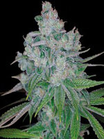 DNA Genetics - Kandy Kush X Skunk Regular Cannabis Seeds 13 Pack