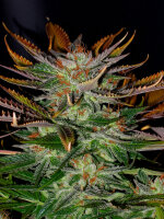 Kannabia Seeds - McEarly Regular Cannabis Seeds