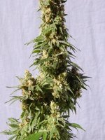 Kannabia Seeds - Auto Smile Feminised Autoflowering Cannabis Seeds
