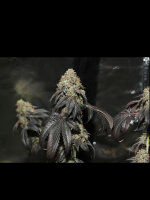 Karma Genetics - Skullcap Regular Cannabis Seeds