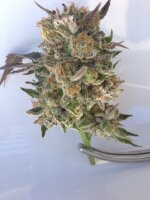 Grand Daddy Purp Seeds - Phantom Cookies 10 Regular Cannabis Seeds
