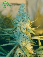 Kiwiseeds - Ray's Choice Regular Cannabis Seeds