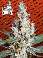 Paradise Seeds Chong's Choice Line - L.A. Amnesia (Sativa) Feminised Cannabis Seeds
