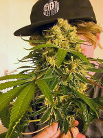 Moxie Seeds - Lemon OG 6 Feminised Cannabis Seeds
