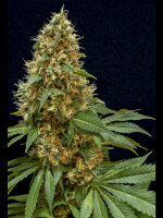 Lineage Genetics - Dreamy Widow Feminised Cannabis Seeds