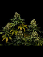 Lineage Genetics - NL #5 x Critical Feminised Cannabis Seeds