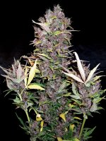 Joint Doctor by Seedsman - Purple Ryder Feminised Autoflowering Cannabis Seeds