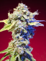 Elemental Seeds - Mango Tango Regular Cannabis Seeds