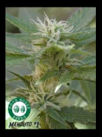 Good House Seeds - Manolito Regular Cannabis Seeds