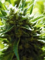 Medicann Seeds - Cali Jack Regular Cannabis Seeds