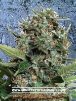 Ministry of Cannabis - Autopilot XXL Feminised Autoflowering Cannabis Seeds