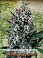 Ministry of Cannabis - Auto Silver Bullet Feminised Autoflowering Cannabis Seeds