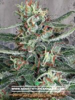 Ministry of Cannabis - Crystal Cloud Feminised Cannabis Seeds