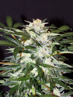 Exotic Seeds - Auto Monster Mash Feminised Autoflowering Cannabis Seeds