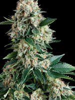 Pyramid Seeds - Auto New York City Feminised Autoflowering Single Cannabis Seed