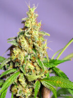 NorStar Genetics - Panama Jack Regular Cannabis Seeds
