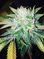 Dark Horse Genetics - Orange Cream 10 Regular Cannabis Seeds