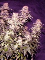 Apothecary Genetics - Orange Fizz 10 Regular Cannabis Seeds