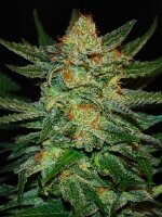 Original Sensible Seed Company - Black Destroyer Feminised Cannabis Seeds
