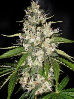 Original Sensible Seed Company - Black Gum Feminised Cannabis Seeds