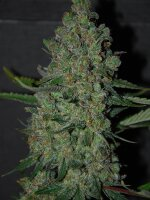 Original Sensible Seed Company - Chronic Lights Feminised Cannabis Seeds