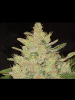 Original Sensible Seed Company - Blueberry Ghost OG Feminised Cannabis Seeds