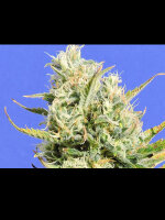 Original Sensible Seed Company - CBD Lemon Aid Feminised Cannabis Seeds