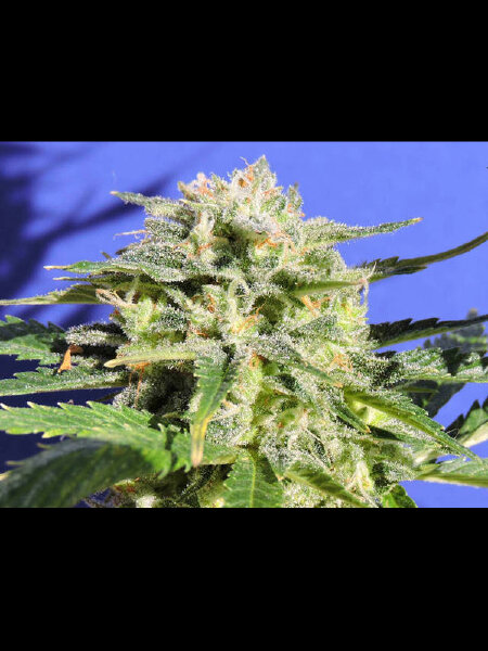 Original Sensible Seed Company - Lemonberry Haze Auto Feminised Autoflowering Cannabis Seeds