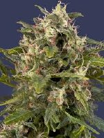 G13 Labs - Auto Pineapple Express Feminised Autoflowering Cannabis Seeds