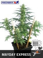 Positronics Seeds - May Day Express Auto Feminised Autoflowering Cannabis Seeds