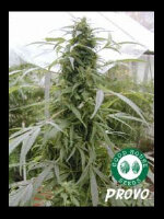 Good House Seeds - Provo Regular Cannabis Seeds
