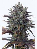 DINAFEM Seeds - Purple Orange CBD Feminised Cannabis Seeds