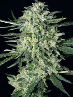 Exotic Seeds - Quick Mass Feminised Cannabis Seeds