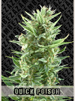 Zambeza Seeds - Auto Quick Poison Feminised Autoflowering Cannabis Seeds