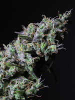 R-KIEM Seeds - Icer Feminised Cannabis Seeds