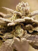 Rare Dankness - Dark Shadow Haze Regular Cannabis Seeds