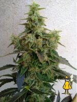 Resin Seeds - Dieseltonic Feminised Cannabis Seeds