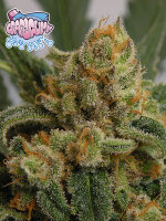 Ripper Seeds - GrapeGum Feminised Cannabis Seeds