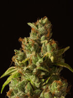 Devil's Harvest Seeds - Rollex OG Kush Feminised Single Cannabis Seed