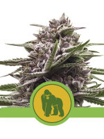 Royal Queen Seeds - Royal Gorilla Auto Feminised Autoflowering Cannabis Seeds