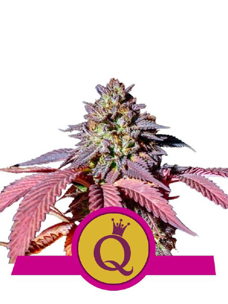 Royal Queen Seeds - Purple Queen Feminised Cannabis Seeds