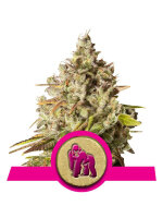 Royal Queen Seeds - Royal Gorilla Feminised Cannabis Seeds