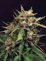 Exotic Seeds - Auto Russian Feminised Autoflowering Cannabis Seeds