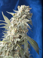 Serious Seeds - AK-47 Feminised Single Cannabis Seed