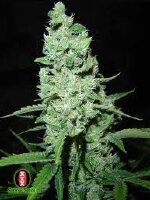 Serious Seeds - AK-47 - Feminised Cannabis Seeds