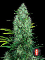 Serious Seeds - Serious 6 Regular Cannabis Seeds 11 Pack