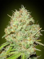 Advanced Seeds - Feminised Collection #1 Feminised Cannabis Seeds